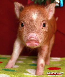Mini Piglets! Just in time for the Holidays