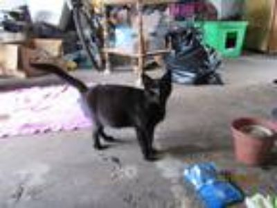 Adopt Shadow a All Black Domestic Shorthair cat in Port Neches, TX (25851049)