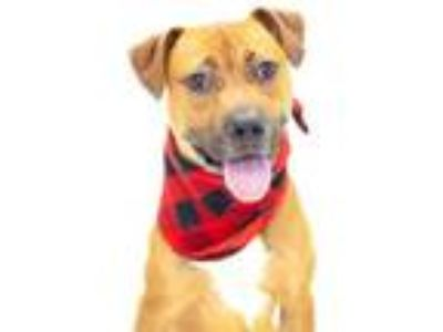 Adopt *BUCKY a Brown/Chocolate - with White American Pit Bull Terrier / Mixed