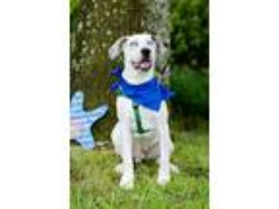 Adopt Emerson a White - with Black Catahoula Leopard Dog / Mixed dog in