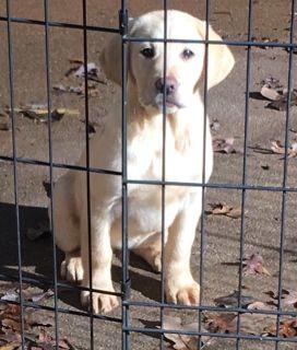 Labrador Retriever PUPPY FOR SALE ADN-105054 - AKC Yellow Labrador Retriever