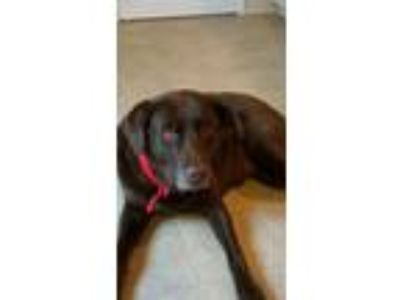 Adopt Jazzy a Chocolate Labrador Retriever