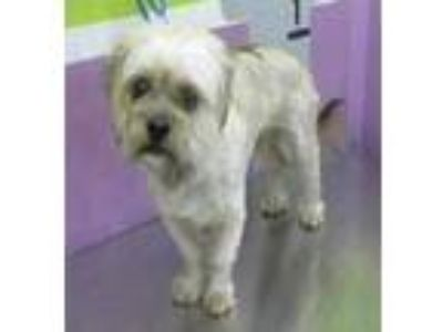 Adopt Chupy a White - with Tan, Yellow or Fawn Shih Tzu / Mixed dog in Missouri