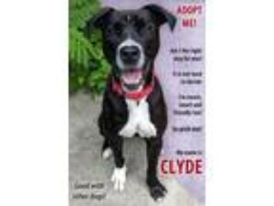 Adopt Clyde a Labrador Retriever / American Pit Bull Terrier / Mixed dog in