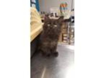 Adopt Ale a Domestic Short Hair