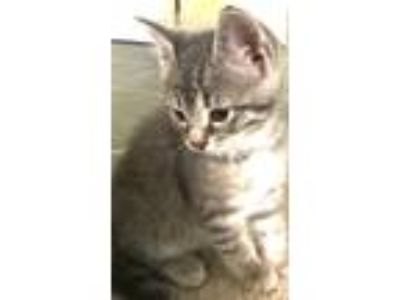 Adopt Gray Male Kittens a Domestic Short Hair