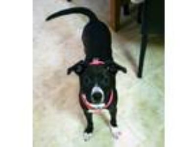 Adopt Matilda a Border Collie, Hound