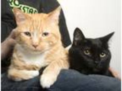 Adopt Moon Pie and Prudence Plum a Orange or Red Tabby Domestic Shorthair (short