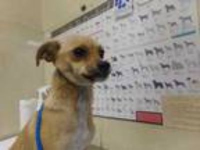 Adopt Sandy a Tan/Yellow/Fawn Italian Greyhound / Mixed dog in Houston