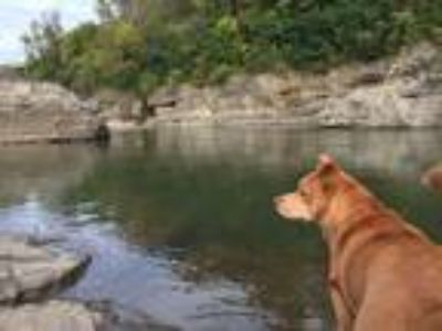 Adopt Hunter a Tan/Yellow/Fawn - with White Norwegian Buhund / Mixed dog in