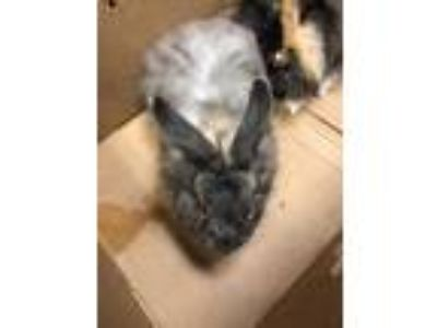 Adopt Anna a Grey/Silver Other/Unknown / Mixed rabbit in Cedar Hill