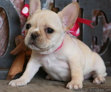 AKC Registered French Bulldog Puppies Ready