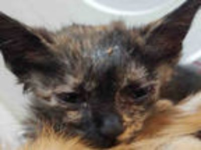 Adopt ROSE a Tortoiseshell Domestic Shorthair / Mixed (short coat) cat in