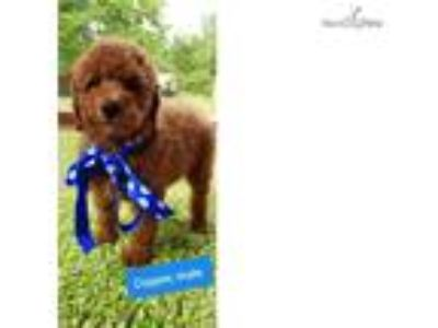 Cooper Beautiful F1b Red Bernedoodle Baby!