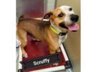 Adopt Scruffy a Pit Bull Terrier