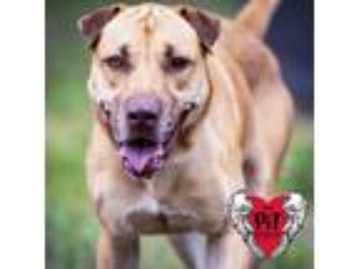 Adopt Gracie a Shar Pei / Mixed dog in St. Petersburg, FL (24745684)
