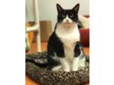 Adopt Gizzy a All Black Domestic Shorthair / Domestic Shorthair / Mixed cat in