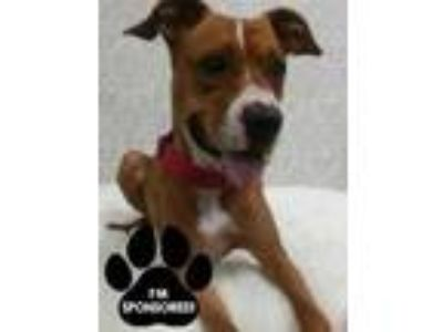 Adopt Doja a Tan/Yellow/Fawn Boxer / Mixed dog in Tangent, OR (25747789)
