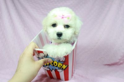 Beautiful Teacup And Toy Maltipoo Puppies