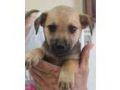 Adopt Nestor a Brown/Chocolate - with Black German Shepherd Dog dog in Clear
