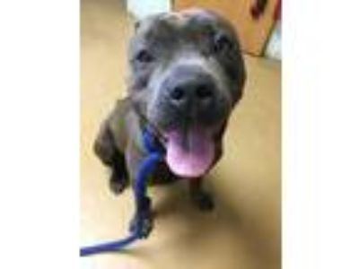 Adopt King Tut a Gray/Blue/Silver/Salt & Pepper American Staffordshire Terrier /