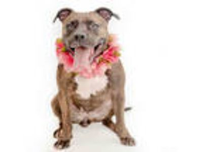 Adopt *SADIE a Brindle - with White American Pit Bull Terrier / Mixed dog in