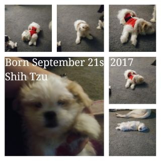 Shih Tzu PUPPY FOR SALE ADN-55736 - Amazing puppy house trained