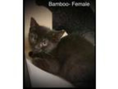 Adopt Bamboo a All Black Domestic Shorthair / Domestic Shorthair / Mixed cat in