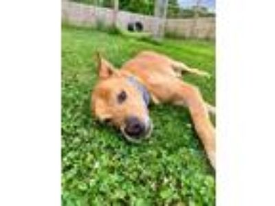 Adopt James a Brown/Chocolate Shepherd (Unknown Type) / Chow Chow / Mixed dog in