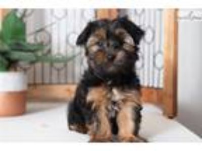 Fisher- Fun Little Male ACA Yorkie Puppy