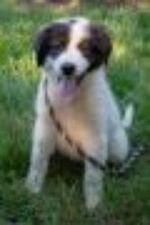 Windi Great Pyrenees - Anatolian Shepherd Dog