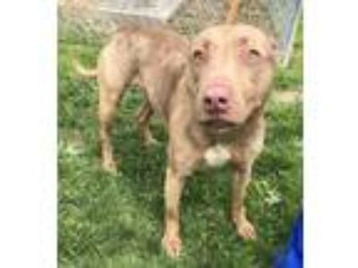 Adopt Cali a Pit Bull Terrier