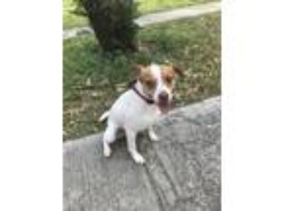 Adopt Jake a White - with Tan, Yellow or Fawn Jack Russell Terrier / Mixed dog