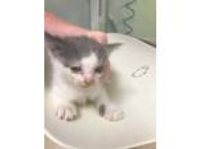 Adopt Fiesty a Gray or Blue Domestic Shorthair / Domestic Shorthair / Mixed cat