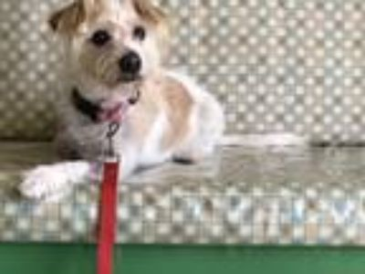 Adopt Benji a White - with Tan, Yellow or Fawn Cairn Terrier / Mixed dog in