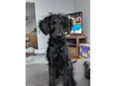 Adopt Lucy a Black Goldendoodle / Mixed dog in Troy, MI (24808128)