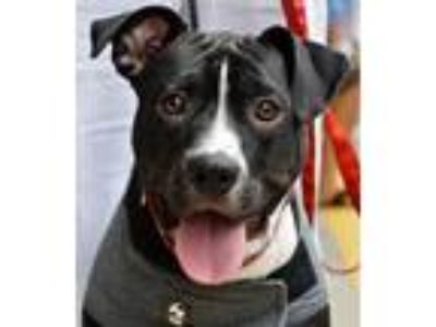 Adopt Buddy a Border Collie, Pit Bull Terrier