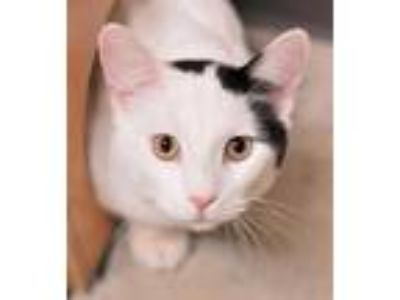 Adopt Connor a All Black Domestic Shorthair / Domestic Shorthair / Mixed cat in