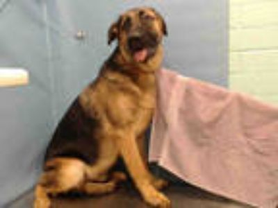 Adopt LIITE a Black - with Tan, Yellow or Fawn German Shepherd Dog / Labrador
