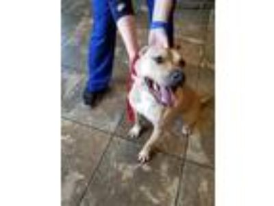 Adopt Hobo a Tan/Yellow/Fawn - with White Pit Bull Terrier / Mixed dog in