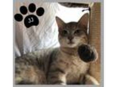 Adopt J.J. a Domestic Short Hair