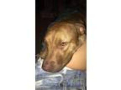 Adopt Sandy a Brindle American Pit Bull Terrier / Labrador Retriever dog in Las