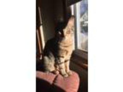 Adopt Max a Brown Tabby Domestic Mediumhair cat in Lowell, MA (24970158)