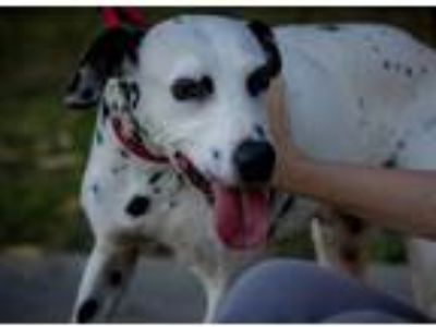 Adopt Teena - Needs Donors Only a White - with Black Dalmatian / Mixed dog in
