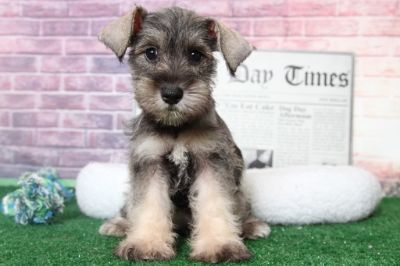 Schnauzer (Miniature) PUPPY FOR SALE ADN-95898 - Blossom Elegant Female Miniature Schnauzer Puppy