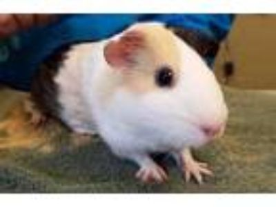 Adopt Switch a Black Guinea Pig / Guinea Pig / Mixed small animal in Corvallis