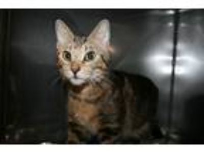 Adopt Mojito a Domestic Shorthair / Mixed (short coat) cat in Lancaster