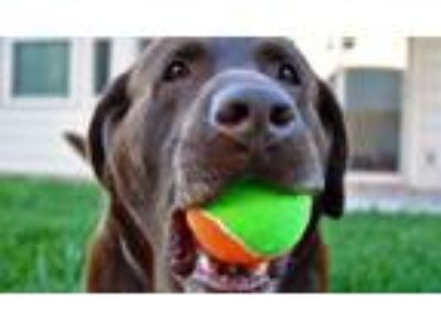 Adopt Hank a Brown/Chocolate Labrador Retriever dog in Georgetown, TX (25660999)