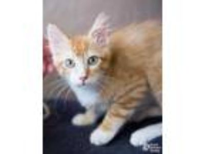 Adopt Banquo a Orange or Red Domestic Mediumhair / Domestic Shorthair / Mixed