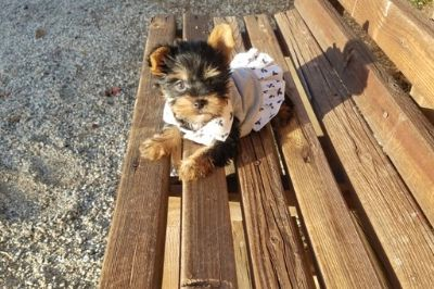 Yorkshire Terrier PUPPY FOR SALE ADN-103817 - Beautiful Yorkie Girl